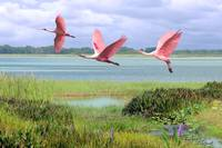 Roseate Spoonbills Of Florida Bay