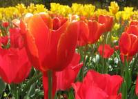 Red Tulips on a Yellow Backdrop