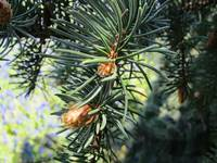 Spring Pine Growth