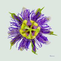 Yellow Green and Violet Passion Flower 50674L