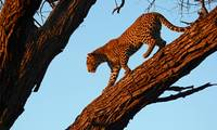 DSC_08849(leopard evening AC)