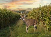 White-tailed Buck In Cornfield