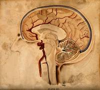 Brain; lateral section. Watercolour after() W.H. L