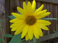 Happy yellow sunflower