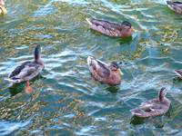 Ducks_on_Lake_Washington