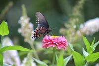 Pipevine Swallowtail Butterfly in Garden