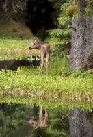 Baby Moose Reflection, Bartlett Cove, Glacier Bay,