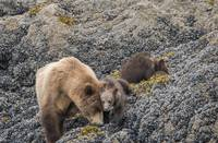 Mama Bear and Cub Snuggling