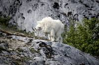 Mountain Goat in the Wind