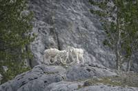 Mountain Goat Bachelors' Club