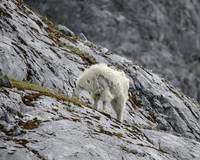 Mama Mountain Goat Shedding Her Coat, Glacier Bay