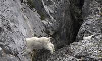 Mama Mountain Goat Jumping Ravine, Glacier Bay