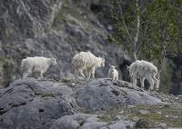Mountain Goat Foursome, Glacier Bay