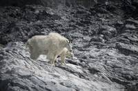 Mountain Goat Mama and Baby, Glacier Bay