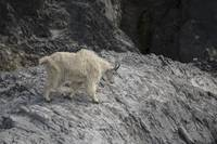 A Female Mountain Goat on Gloomy Knob, Glacier Bay