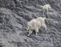 Mountain Goat Mama and Baby Descend Rocks