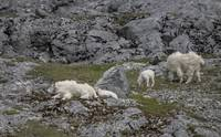 Mountain Goats Sleeping and Grazing, Glacier Bay,