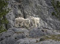Mountain Goat Bachelors Club, Glacier Bay National