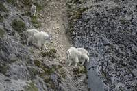 Mountain Goat Moms in Gully, Glacier Bay National