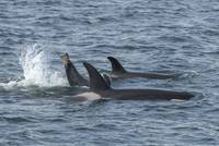 Orca Family and Splash from Baby Orca