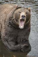 Bear with Open Mouth