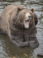 Bear Yawning in Water