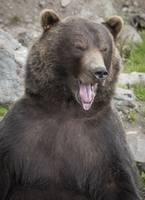 Bear Yawning Two