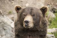 Brown Bear Portrait Two