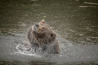 Brown Bear Shaking Water