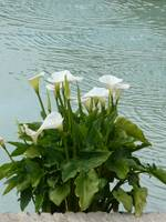 White Calla Lilies And Water