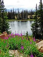 Deep Pink Flowers On Lake Catherine Utah