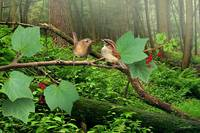 Pacific Wrens and Red Currants