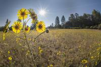 Tarweed and Sunshine in Mountain Meadow
