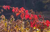 Red Leaves and Burrs