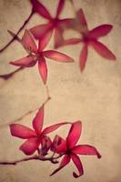 Red Frangipani Flowers