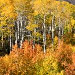 """Autumn Aspens"" by pbk"