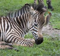 Baby Zebra and Yellow Billed Oxpecker