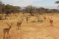 African Deers - Bachelor Group