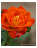 Deep Orange Dew Rose Bloom