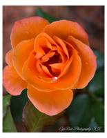 Orange Rose Corsage