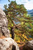 Pine Tree Saxon Switzerland