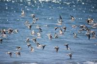 Sandpipers at Limantour