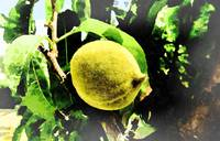 Fizzy Yellow Fruit_Agriculture 4_water faded edges