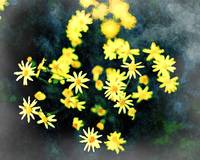 Yellow Flowers_All The Colour 036_AD Faded Edges