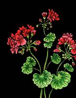 Red Geranium Flower Watercolor Black Background