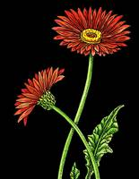 Gerbera Daisy Flower Watercolor Black Background