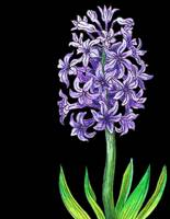 Hyacinth Flower Watercolor with Black Background