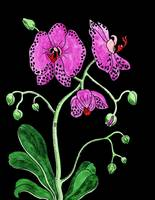 Fuschia Moth Orchid Flower Watercolor on Black