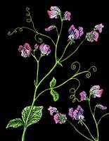 Sweet Pea Flowers Watercolor With Black Background
