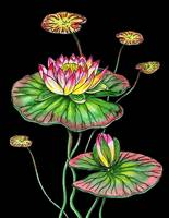 Waterlily Flower Watercolor Black Pond